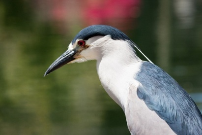 black-crowned-night-heron-thumb-600x400-73674